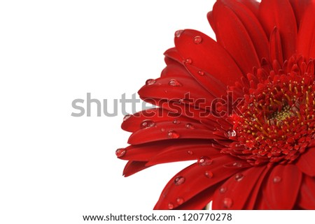 red gerbera flower close up  background