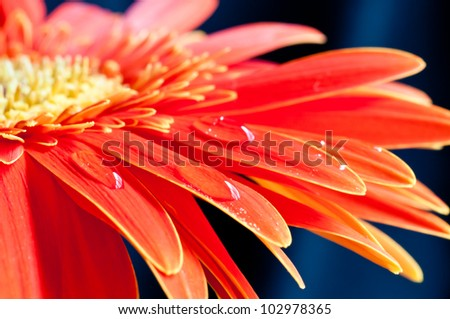 Red gerbera flower close up with water drops on the petal