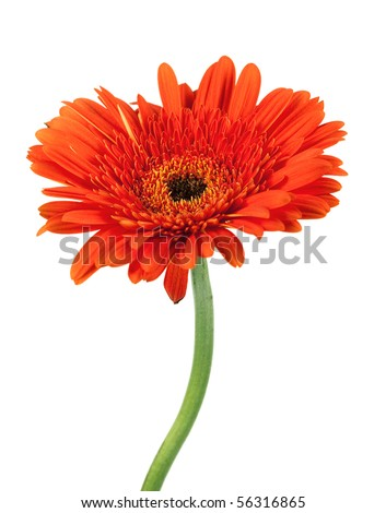 Red gerbera flower. Closeup, isolated on white