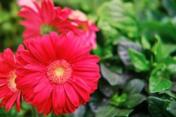 Red gerbera flower, copy space for text. Gerbera is a genus of plants in the Asteraceae daisy family. It was named in honour of German botanist and doctor who travelled extensively in Russia