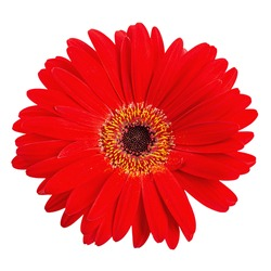 Red gerbera flower isolated on white background. File contains clipping path.