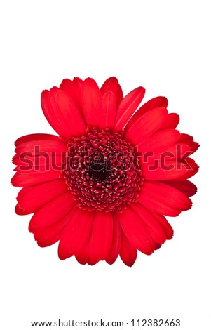 red gerbera flower on a white background