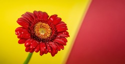 Red gerbera flower on yellow and red background