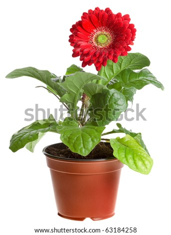 red gerbera in a brown pot isolated on white background