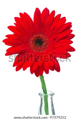 Red gerbera in a glass vase