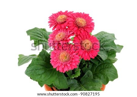 Red gerbera in front of w white studio background