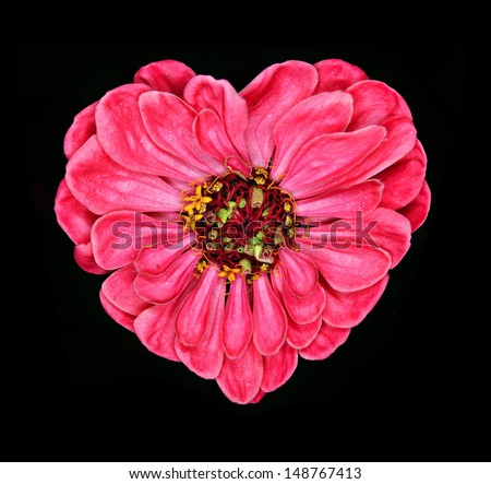 red gerbera on black background heart