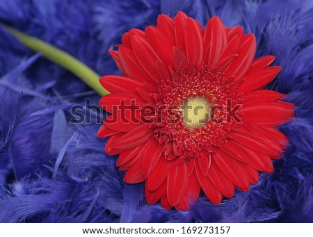 Red gerbera on the blue feathers