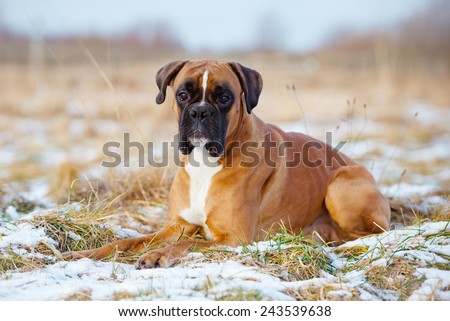 red german boxer dog lying down
