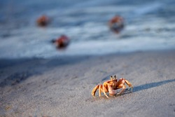 Red ghost crabs on the beach of Pangani in Tanzania. Unbekivable crowded beach of crabs , Crabs invasion