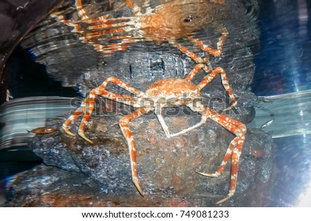 Stock Photo Red Giant Japanese spider crab, King Alaskan Crab in deep underwater tank in aquarium (Selective focus)
