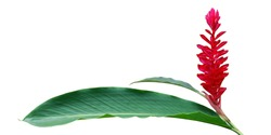Red Ginger, Alpinia purpurata Flower with Green Leaves Isolated on White Background