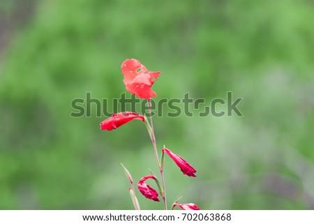 Shutterstock puzzlepix red gladiolus flower mightylinksfo