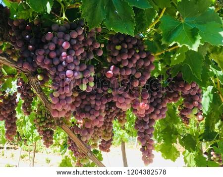 red globe grapes Stok fotoğraf ©