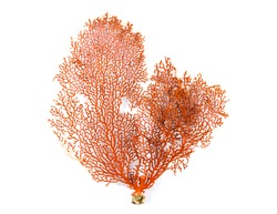Red Gorgonian or red sea fan coral isolated on white background