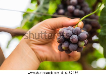 Red grape fruits in vineyards with woman hand #616189439