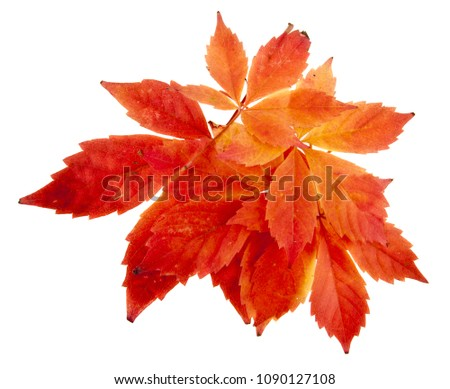 red grape leaves isolated on white background #1090127108