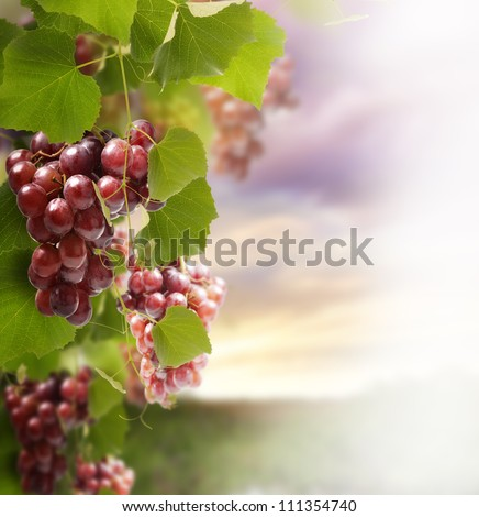 Red Grape On The Vines Against A Sunset