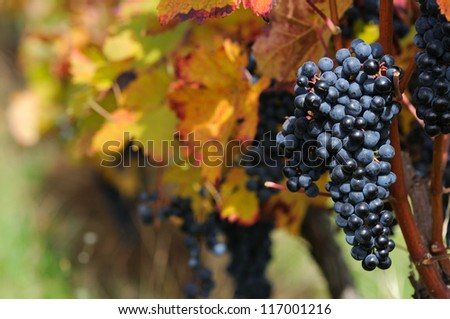 Red grape with colorful foliage