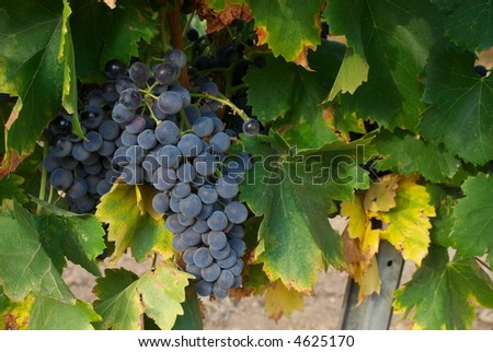 Red grapes and vines leaves