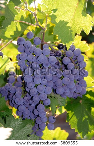 Red Grapes at Harvest Time