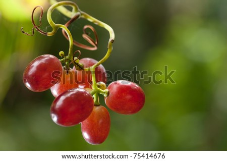 Red grapes hanging on a vine