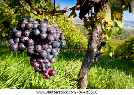 Red grapes in a German vineyard