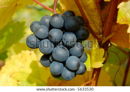 Red grapes in a vineyard, Danube Valley, Austria, closeup