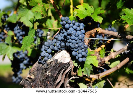 Red grapes in a vineyard on Niagara Peninsula, Canada