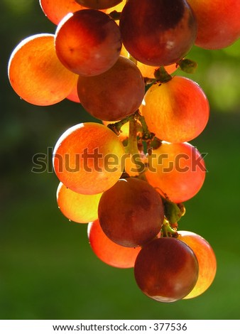 Red grapes in evening light
