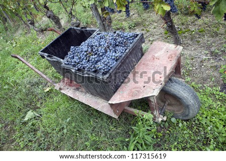 Red grapes in the cases, Italy, Piedmont
