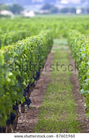 Red grapes in the vineyards of Saint-Emilion, France - stock photo
