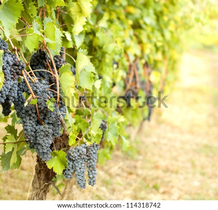 Red grapes on a vine