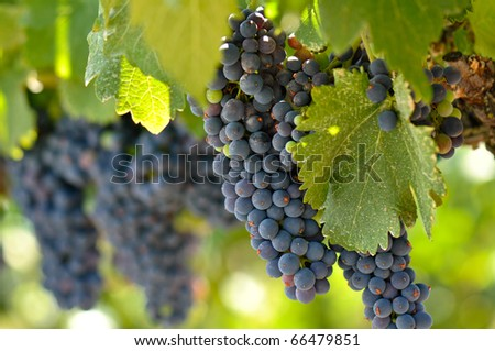 Red Grapes on the Vine in Napa Valley California