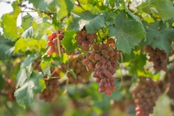 red grapes on the vine in the vineyard. Vine and bunch of white grapes in garden the vineyard. black grapes in the vineyard field, Ripe green grapes ready for harvest. Agriculture grape farm.