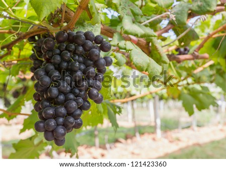 Red Grapes on the vine  in vineyard before harvest