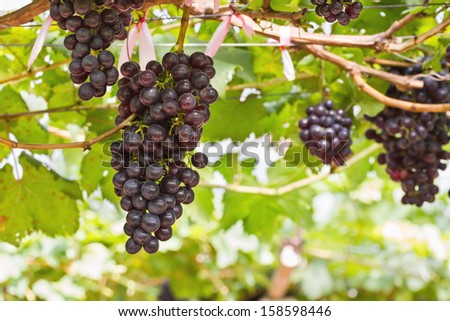 Red Grapes on the vine in vineyard before harvest - stock photo