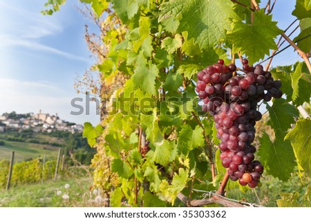 Red grapes overlooking a small italian village. Langhe hills, Piedmont, north Italy.