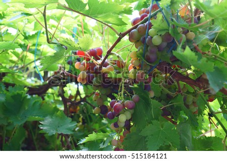 red grapes plant as nice natural background #515184121