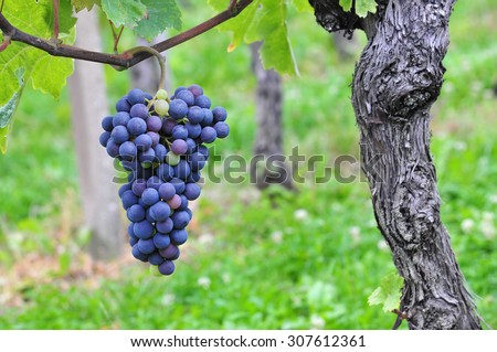 Red grapes vineyard and red grapes fruit. Red grapes agriculture