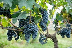 Red grapes with green leaves on the vine. Vine grape plants outdoors