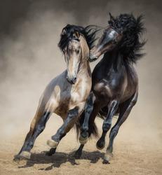 Red-gray Spanish stallion play with dun Spanish stallion in sand dust.