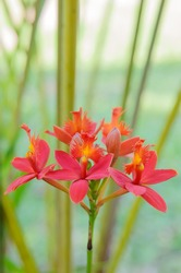 Red ground orchid flower blooming in the garden