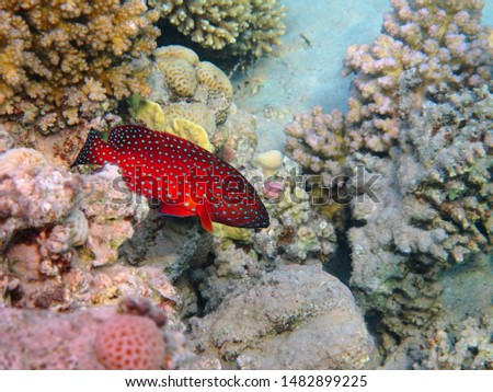 Red grouper (Roving coral grouper, Plectropomus pessuliferus) on healthy coral reef. Tropical fish and corals, underwater photography from snorkeling. Vivid marine wildlife. Picture of aquatic life