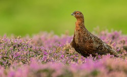 Red Grouse (Scientific name: Lagopus Lagopus Scotica) Close up of a male Red Grouse with red eyebrow, facing left in blooming purple heather.  Clean, green background.  Horizontal. Space for copy.