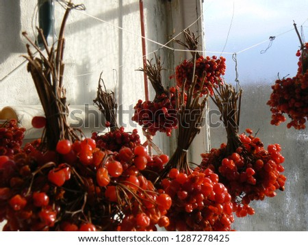 Red Guelder Rose - favorite berry of ukrainien people. It was sung in the songs and displayed in the art of entrie gentration. #1287278425