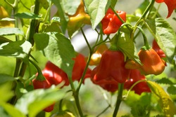 Red habanero pepper in garden with green leaves in baackground