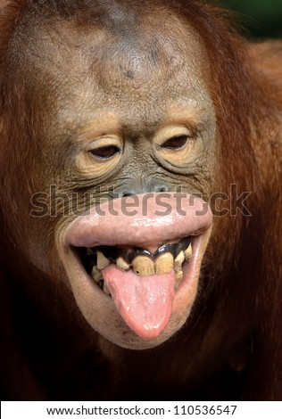 Orangutan Smiling Teeth Red hair chimpanzee kiddingOrangutan Smiling Teeth