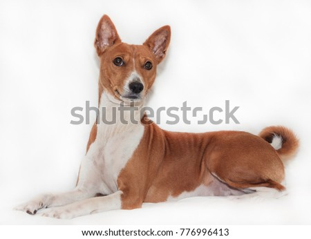 red-haired, African non-fading dog basenji on a white background chinese new year 2018 #776996413