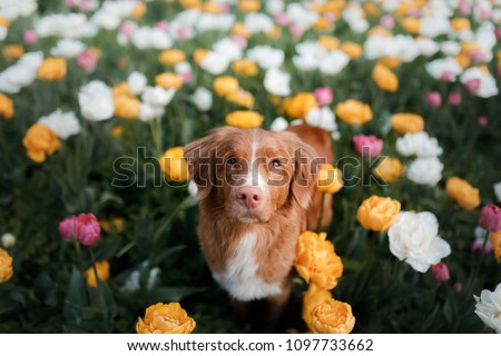 red-haired dog in tulip flowers. Pet in summer in nature. Nova Scotia Duck Tolling Retriever, Toller
